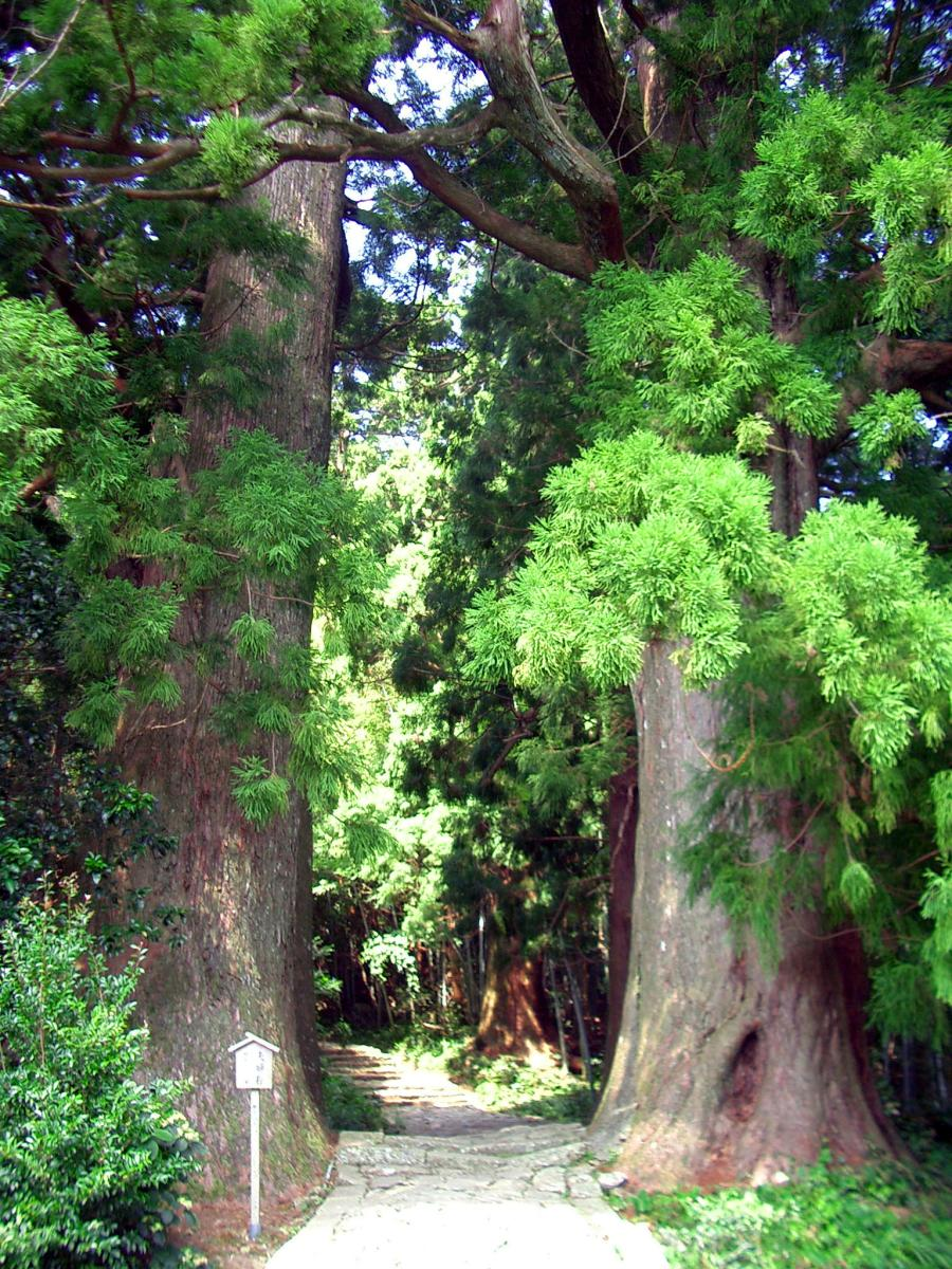 Green landscape in Japan: Ancient trees of Kumano-kodo (Wakayama prefecture).
