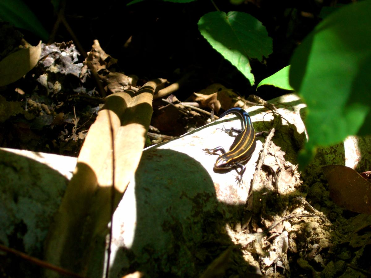 Colourful lizard in the jungle of 西表島 (Iriomote island, Japan) on 31 October 2008.
