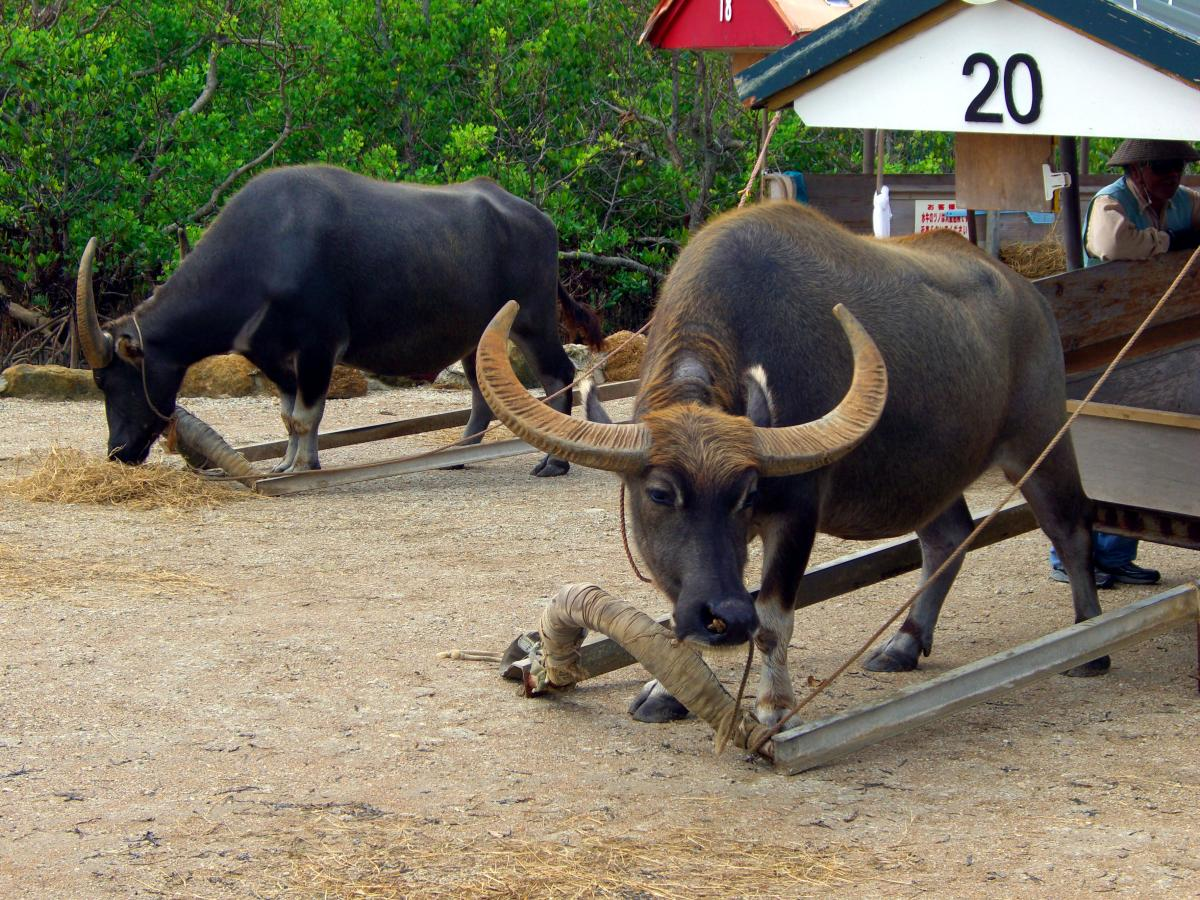 Water buffalos on 西表島 (Iriomote island, Japan) ready to go to 由布島 (Yubu island) on 01 November 2008.